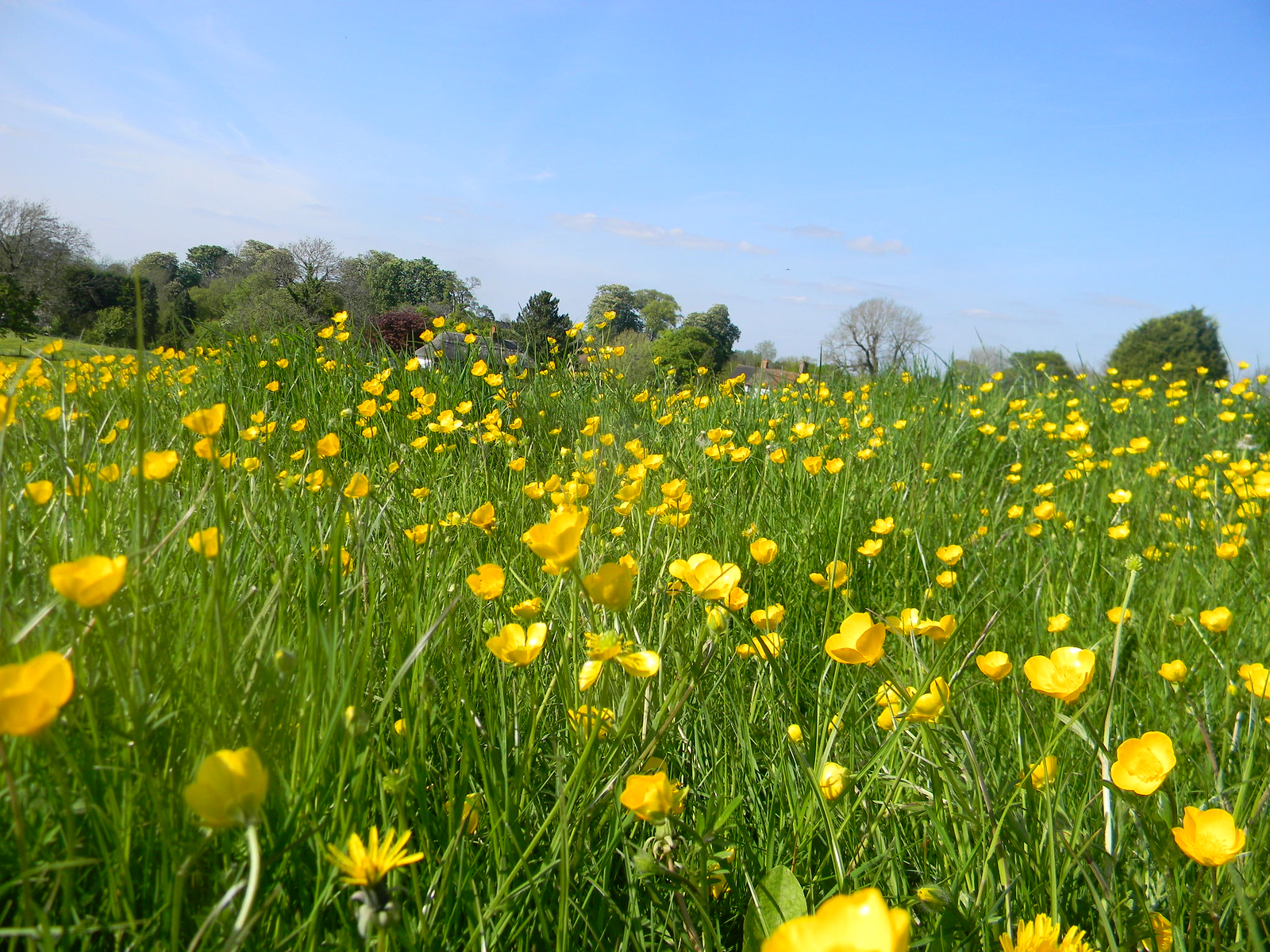 Buttercups Wendover Circular Just past Ellesborough Church