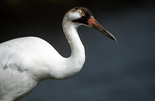 Whooping Crane (Grus americana) | by USFWS Headquarters