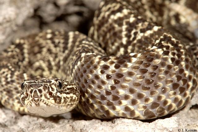 Guarico Rattlesnake - Crotalus d. pifanorum
