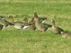 Lesser White-fronted Goose, Buckenham (Norfolk), 2-Jan-12 by Dave Appleton