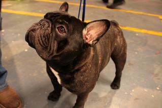 French Bulldog   by Llima