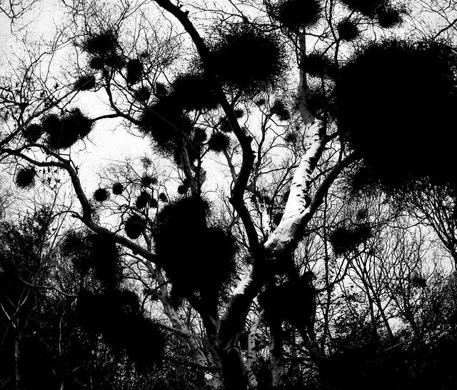 MistletoeTrees1-composite