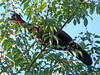 Crested Guan (Penelope purpurascens) by Francisco Piedrahita