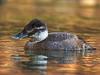 Maccoa Duck (Oxyura maccoa) by Gerhard Theron
