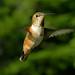 Flickr photo 'Female Rufuos Hummingbird II' by: Redgum.