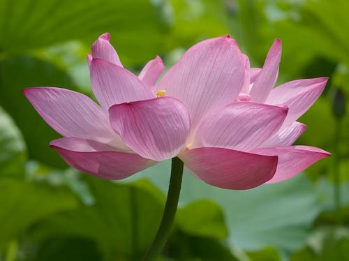 IMG_0439: Lotus | by ac4lt