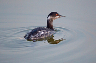Black-necked Grebe (Podiceps nigricollis) | by Brian Carruthers-Dublin-Eire