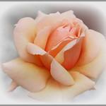 P1140027-001 Peach rose