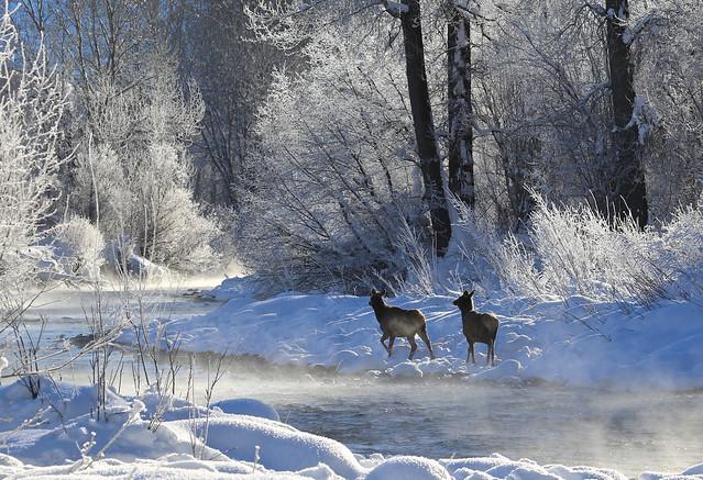 Elk on the Big Wood River