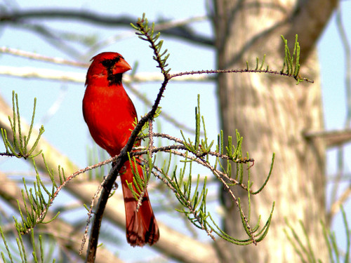 Northern Cardinal in Pond Cypress 5-20170401