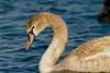 Mute Swan - Лебеди by Volkan Donbaloğlu