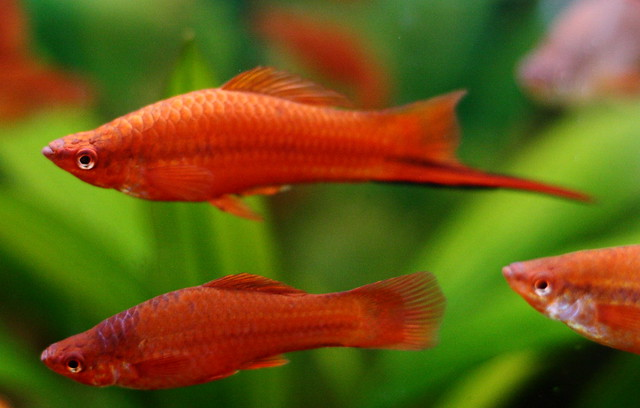 green swordtails