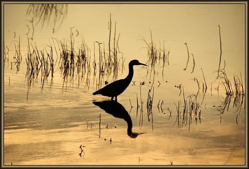 sunset heron reflection pond marsh water golden elfrancoleepark houston texas flickrdiamond