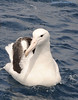 Southern Royal Albatross DSC_0525 by Mary Bomford