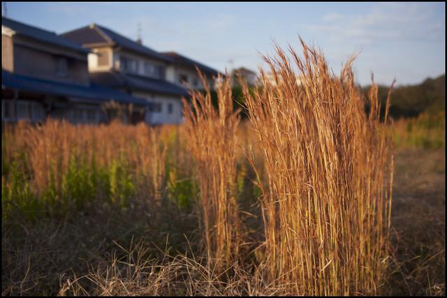 Golden grass in morning sunlight