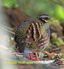 Rufous-throated Partridge,   Arborophila rufogularis by Graham Ekins