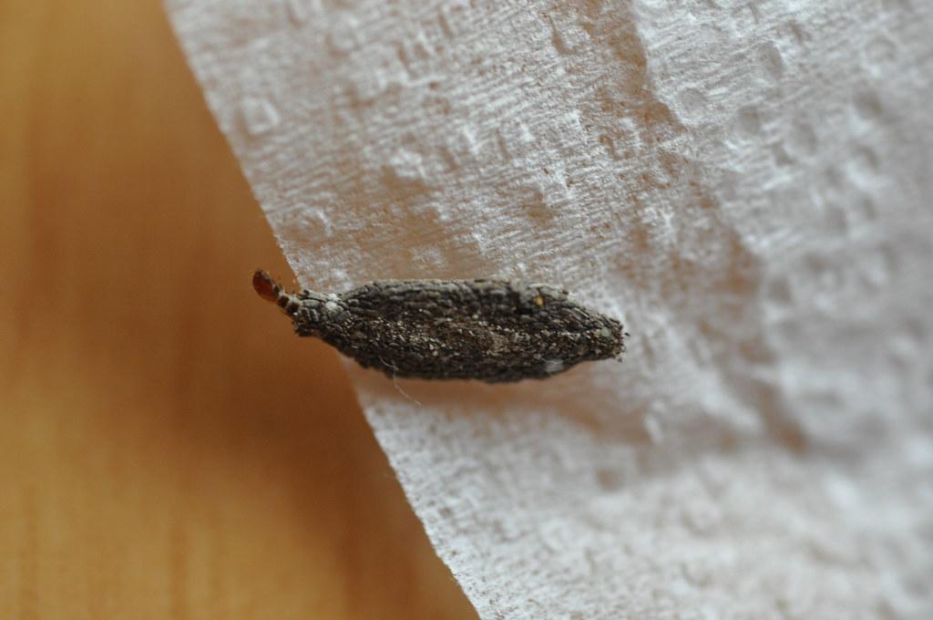 Phereoeca uterella (Walsingham, 1897) Tineidae-plaster bag