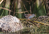 Spotless Crake (Porzana tabuensis) by Stewart M