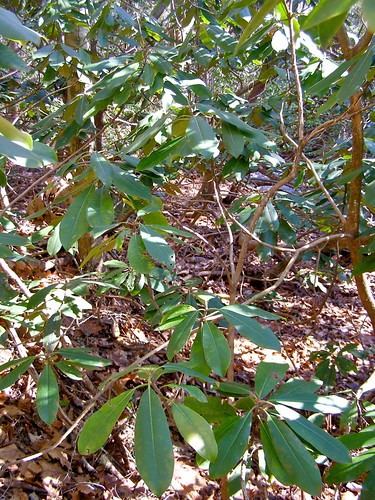 winter mountain forest nc woods rhododendron laurel 2012 lore dialect horacekephart mystuart laurelhell