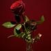 Rose 2012 & Rose 2001 (75/365)