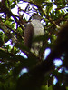 Henst's Goshawk - Accipiter henstii by Andy Bunting Photography
