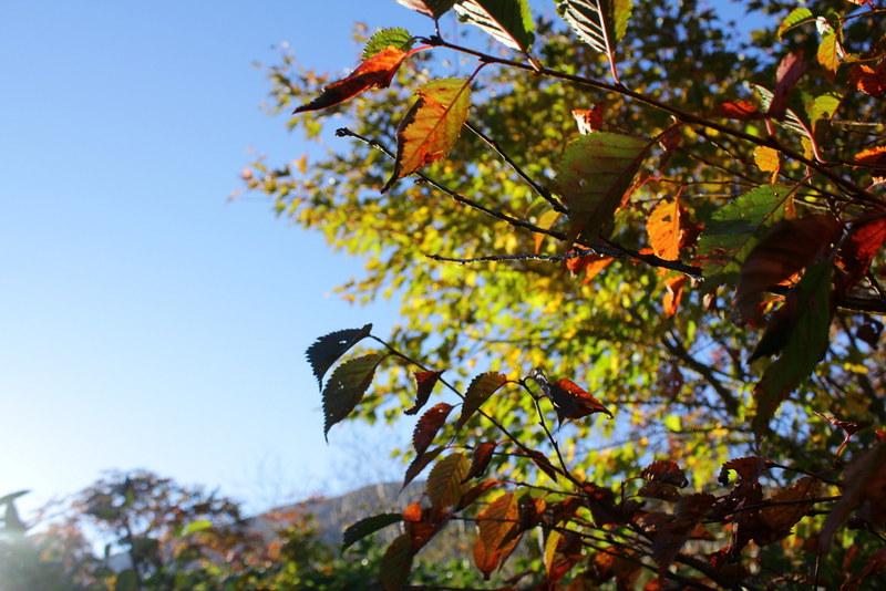 栗駒山の葉っぱ