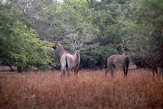 Roan Antelope | by inyathi