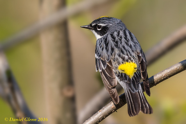 Yellow-rumped Warbler (Setophaga coronata) breeding male