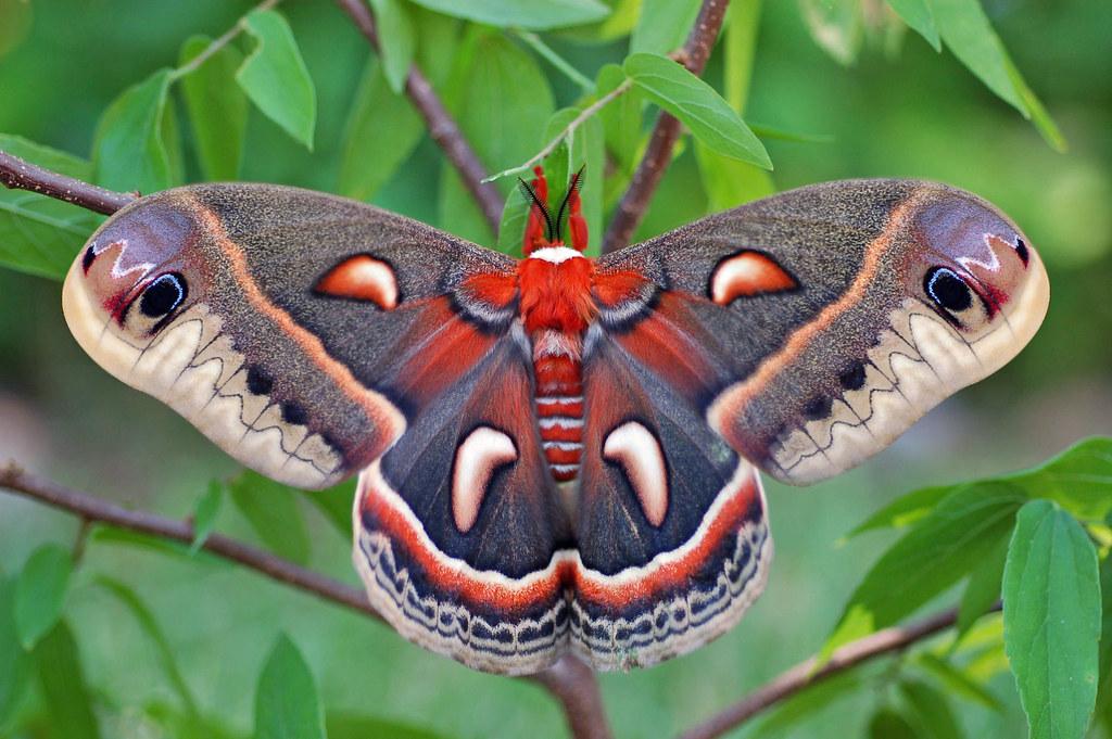 Cecropia Moth. Freshly Emerged - Drying Wings