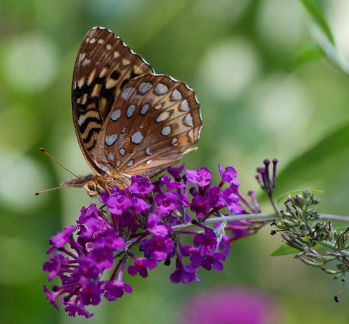 macro nature closeup canon butterfly bug garden insect colorful purple buddleia connecticut papillon tamron tamron90mm greatspangledfritillary top20butterflymoth primelens