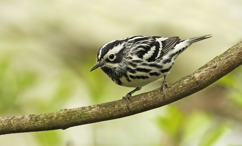 Black-and-white Warbler | by Ryan Schain