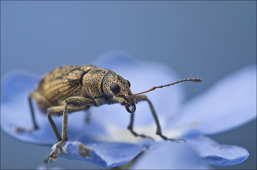 Weevil in Blue | by Rense Haveman