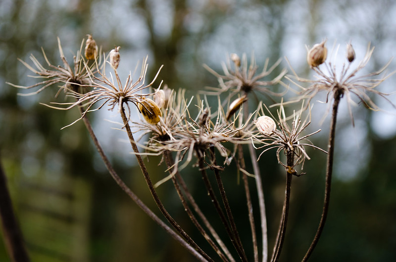 Last year's umbellifer with seeds