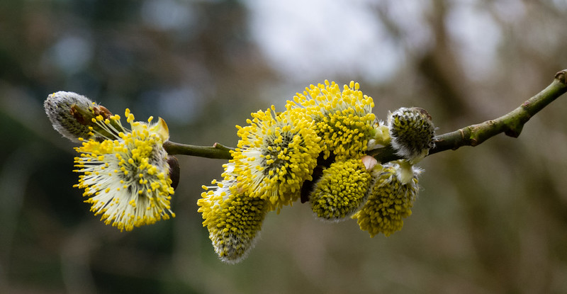 Pollen-laden pussy willow catkins