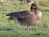 Pink-footed Goose, Holkham (Norfolk), 27-Jan-12 by Dave Appleton
