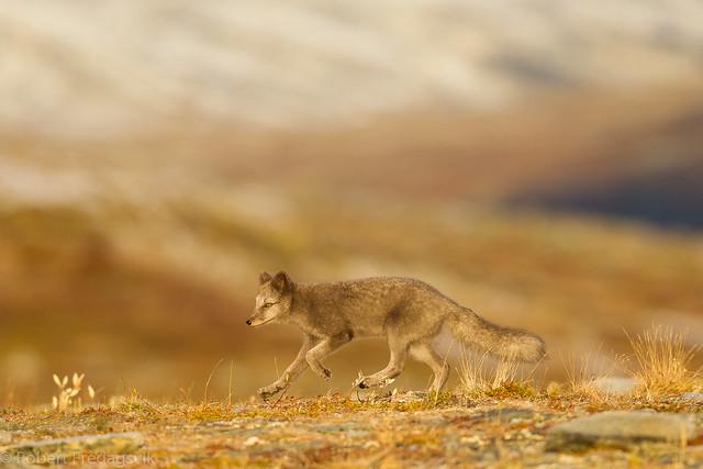 Fjellrev- Arctic fox-09-3.jpg