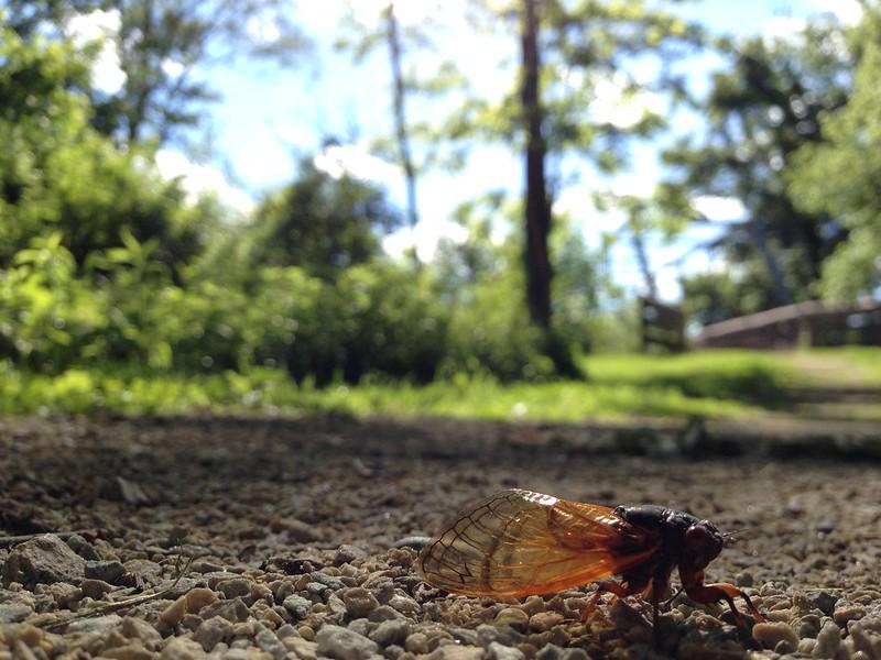 Brood V 17 year periodical cicadas