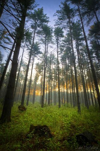 morning green pine forest sunrise stump toledoareametroparks swantonohio oakopeningspreserve