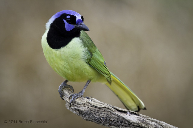 A Green Jay Caught In A Solemn Moment