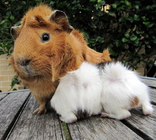 Guineapig Ginger nursing her girls at 1 week old, from emmasguineapigs.blogspot.co.nz | by BeautifulBreastfeeding