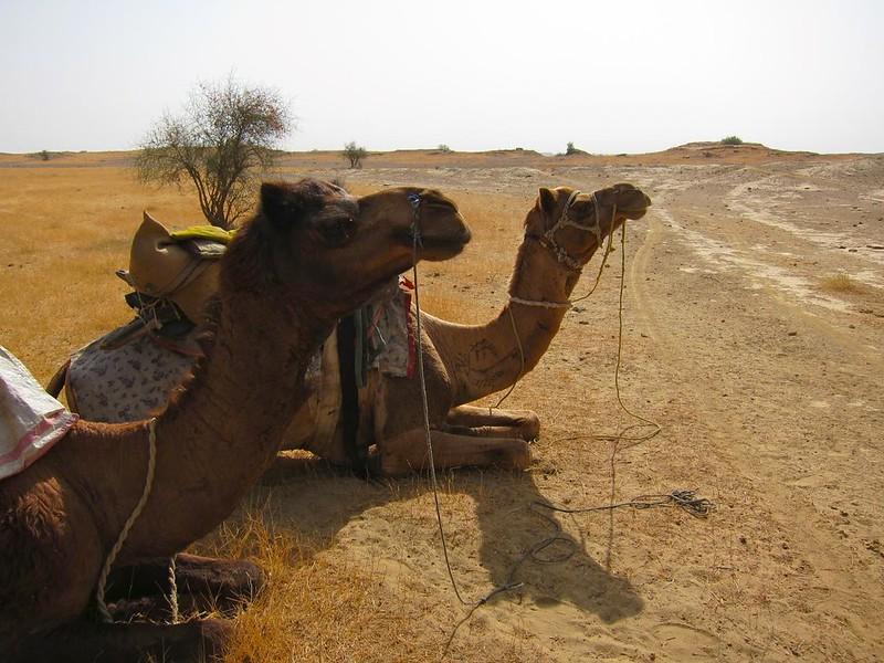 Camel trekking in Jaisalmer