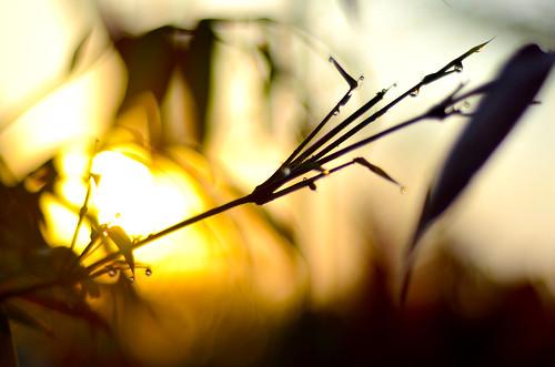 sunrise dewdrops bamboo