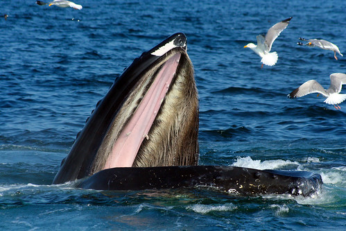 Feeding Whale | by Green Fire Productions