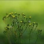 西洋蒲公英  Common Dandelion