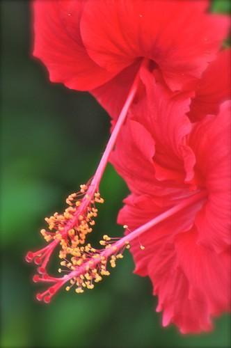 red hibiscus johor muar westmalaysia