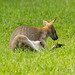 Wallaby 4