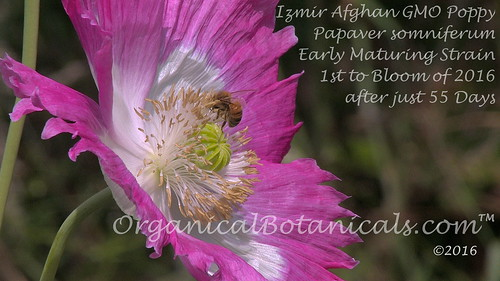 JdubPub — Izmir Afghan GMO Opium Poppy Flower 1st Bloom of