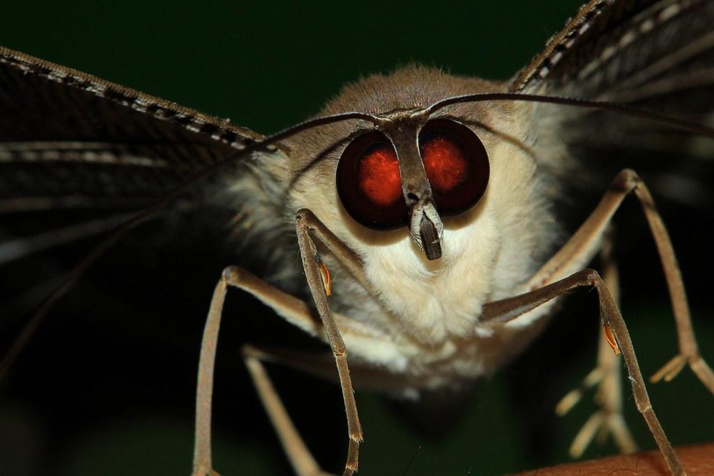 Kupu Gajah Ngengat Moth Hinggap Di Tanganku Flickr