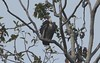 White-rumped Vulture-Gyps bengalensis by sail121j