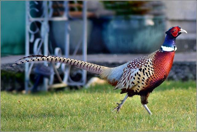 Pheasant. Nikon D3100.  DSC_0506